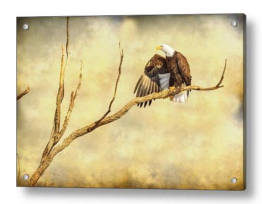 Majestic Eagle Point Acrylic Print