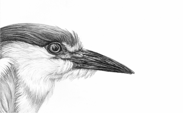 Realistic Pencil Drawings of Birds - Fine Art Blogger