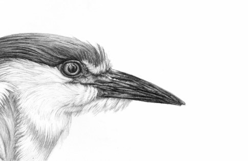 bird-eye-pencil-drawing