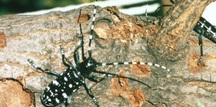 Asian Longhorned Beetle – NOT YET IN REGION