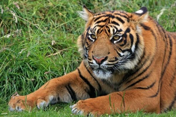 tiger-164905_1280