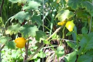 Organic produce grown in Penalosa Farms in Victorias City.
