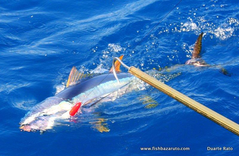 Ascension Island Yellowfin Tuna Action