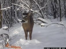 WI white tail deer