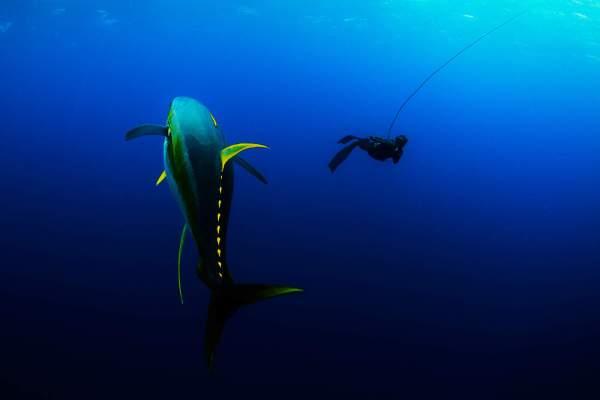 freedivingdanwildyellowfin