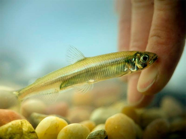 California's Biggest Environmental Disaster? Delta Smelt and other fish species plummet to record low levels