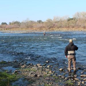 Photo of American River below Nimbus Fish Hatchery. The spot where this angler is standing is under water now. Photo by Dan Bacher.