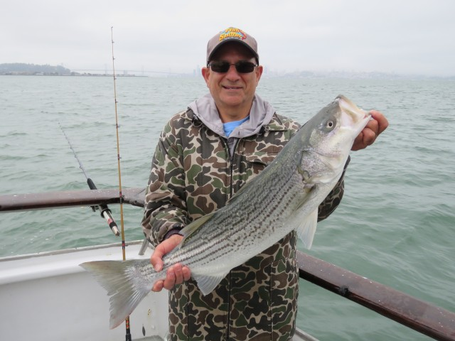 Dan landed several stripers while fishing under the Golden Gate Bridge including this husky fish.