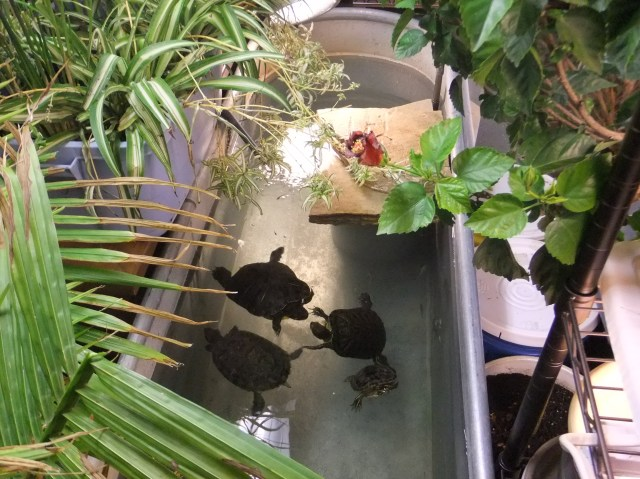 My 3 Red eared Sliders and one Western Painted Turtle