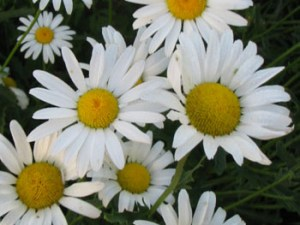Chysanthèmes