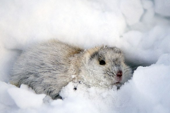 white-lemming-playing-in-the-snow