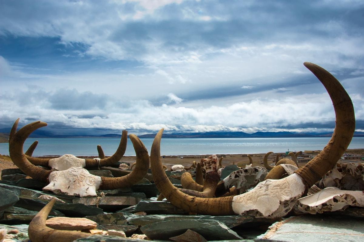 yak horns are considered auspicious