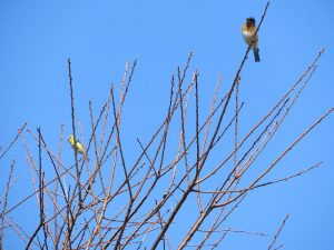 bluebirds perched in bare branches