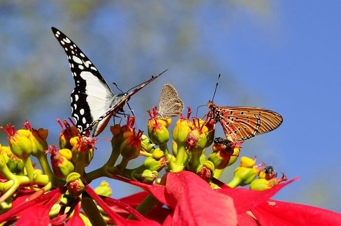 poinsettia with butterflies