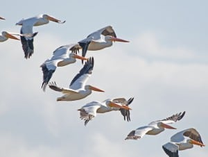 White Pelicans in Merritt Island/ John Young Photo