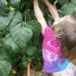 Picking Pole Beans and Cherry Tomatoes