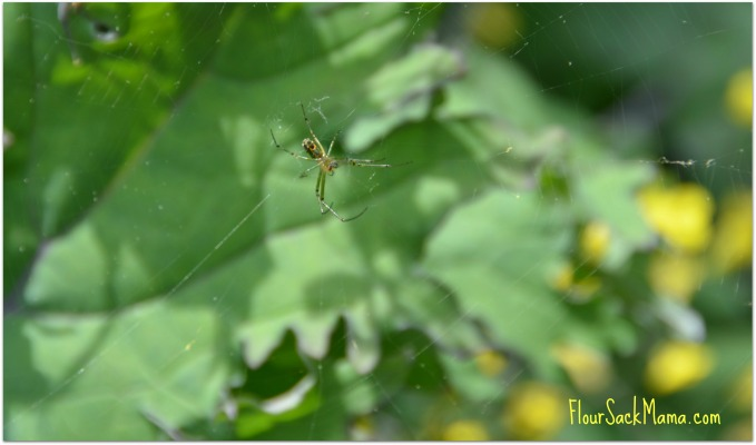 garden spider on web suspended above kale plants