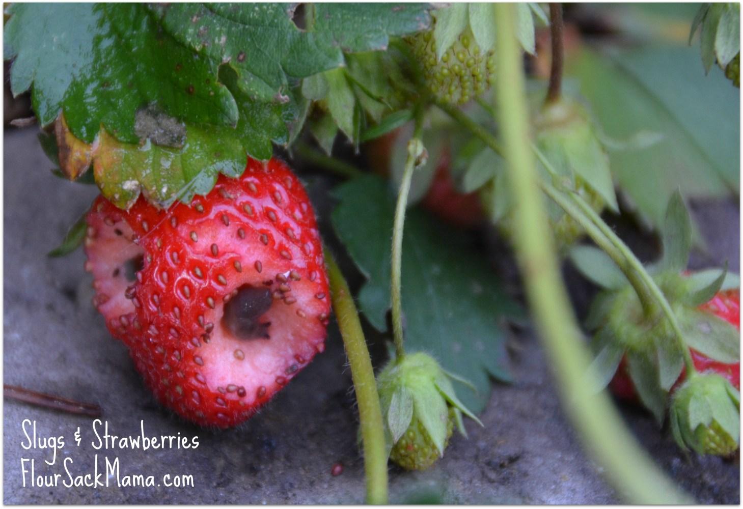 SlugsStrawberriesFlourSackMama