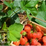 Pick Fresh for Flavor & Deter Pests Naturally in Organic Strawberry Patch