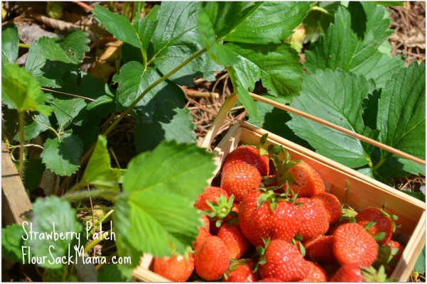 ripe basket of strawberries in strawberry patch