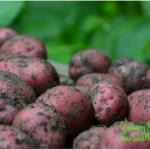 Saturdays in the Garden:  Poor Potato Harvest