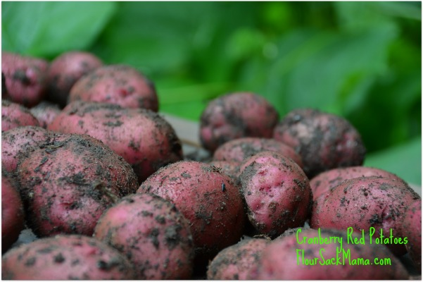 red potatoes harvested with dirt still on them