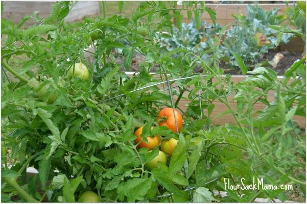 Ripe Tomato Pike County Garden