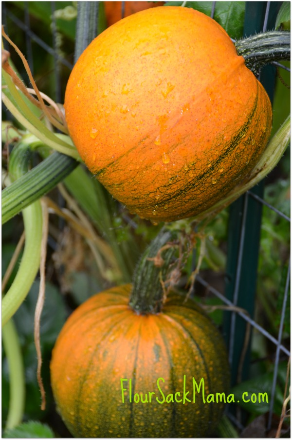 Pumpkins 2 on fence