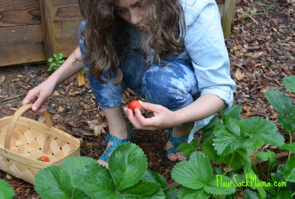Girl picks strawberries with white oak basket