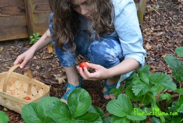 Girl picks strawberries with white oak basket