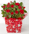 Heart to Heart Valentine Mini Rose - FedEx