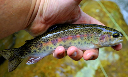 Summer Fly Fishing Report, Fly Fishing the Smokies, Fly Fishing Guides Great Smoky Mountains National Park, Rainbow Trout, Great Smoky Mountains, Gatlinburg Fly Fishing Guides,