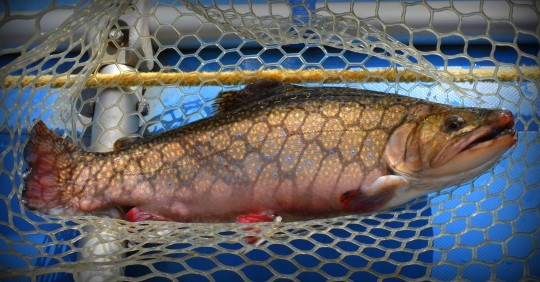 Brook trout Tuckasegee River, Fly Fishing the Smokies, Smoky Mountain Fly Fishing Guides, Tuckasegee River Fly Fishing Guides