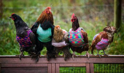 knits-tiny-chicken-jumpers-battery-hens-nicola-congdon-cornwall-61