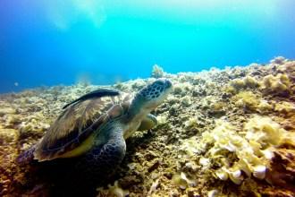 Schildkröte beim Tauchen