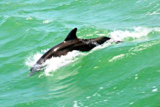 schwimmender Delfin, Florida