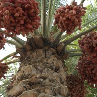 fresh dates from the palm tree