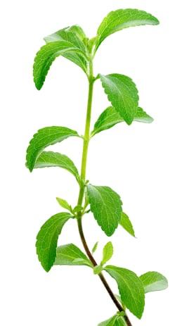 Food Babe - Stevia Plant