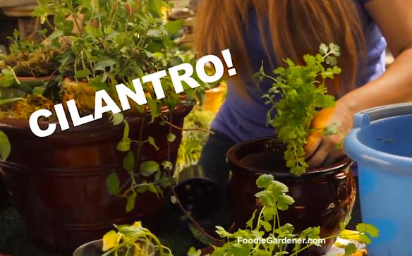 Potted Cilantro Plant Foodie Gardener