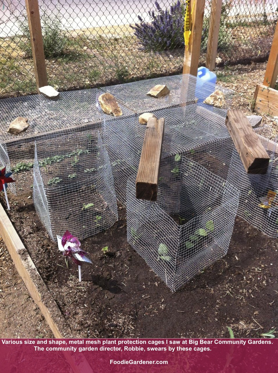 Metal Vegetable Protection Cages As Seen In A Community Garden Raised  Vegetable Garden.