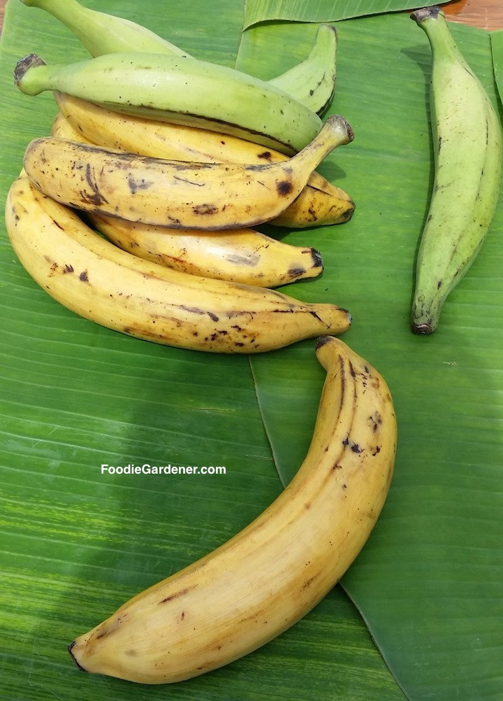 mature yellow plantains and unripened green plantains on banana leaf shirley bovshow foodie gardener