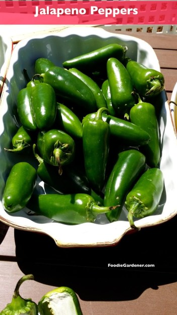 jalapeno peppers most popular pepper foodiegardener
