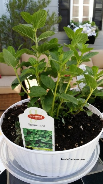 spearmint mentha spicata white container foodie gardener blog