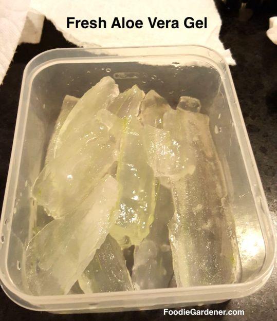 freshly-harvested-aloe-vera-gel-pieces-in-plastic-or-plastic-bowl-stays-fresh-in-refrigerator-4-days-foodie-gardener
