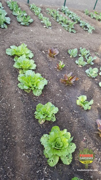 lettuces-planted-in-long-rows-foodie-gardener-blog