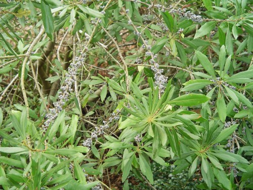 Medium Of Southern Wax Myrtle
