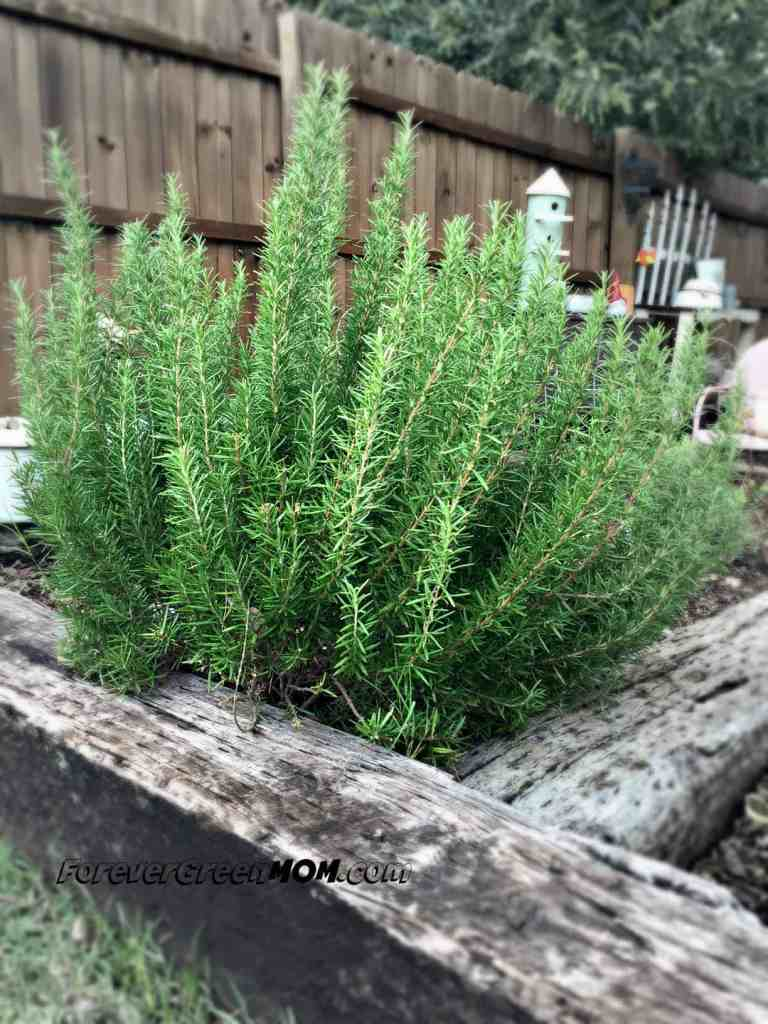 Rosemary bush in garden