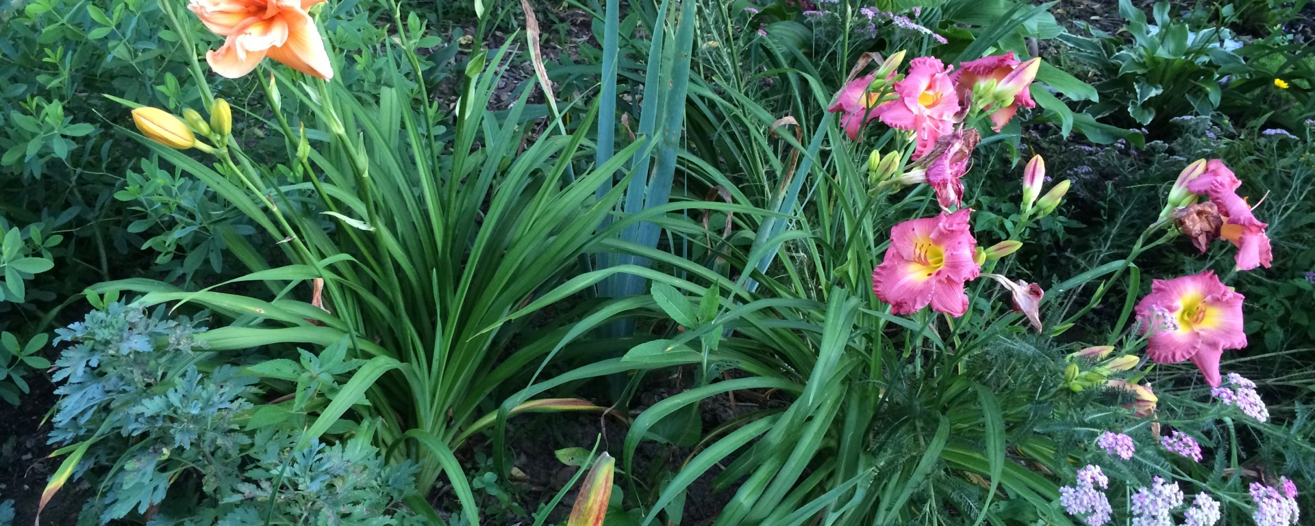 East daylily bed
