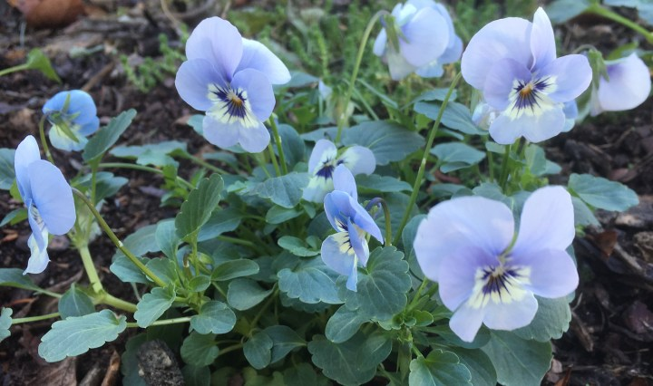 blue-pansies-2