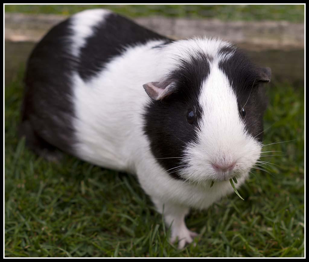 Fullsize Of Guinea Pig Forum